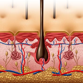 Importance du poils dans la peau avec le muscle rétracteur