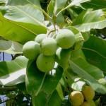 L'Huile de Tamanu ou Calophyllum Inophyllum: l'Huile Sacrée aux nombreuses Vertus