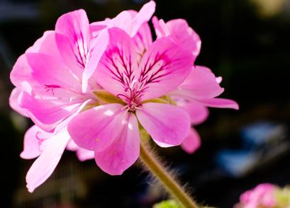 Fleurs roses du Geranium Rosat