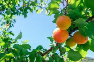 Branches d'un abricotier sur ciel bleu avec abricots
