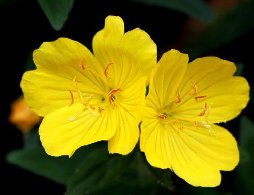 L'huile végétale d'Onagre : faites en une alliée pour votre peau !