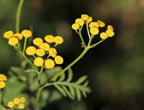 L'hydrolat d'Hélichryse Italienne : soin apaisant et tonifiant pour les peaux fragilisées, réactives ou matures.